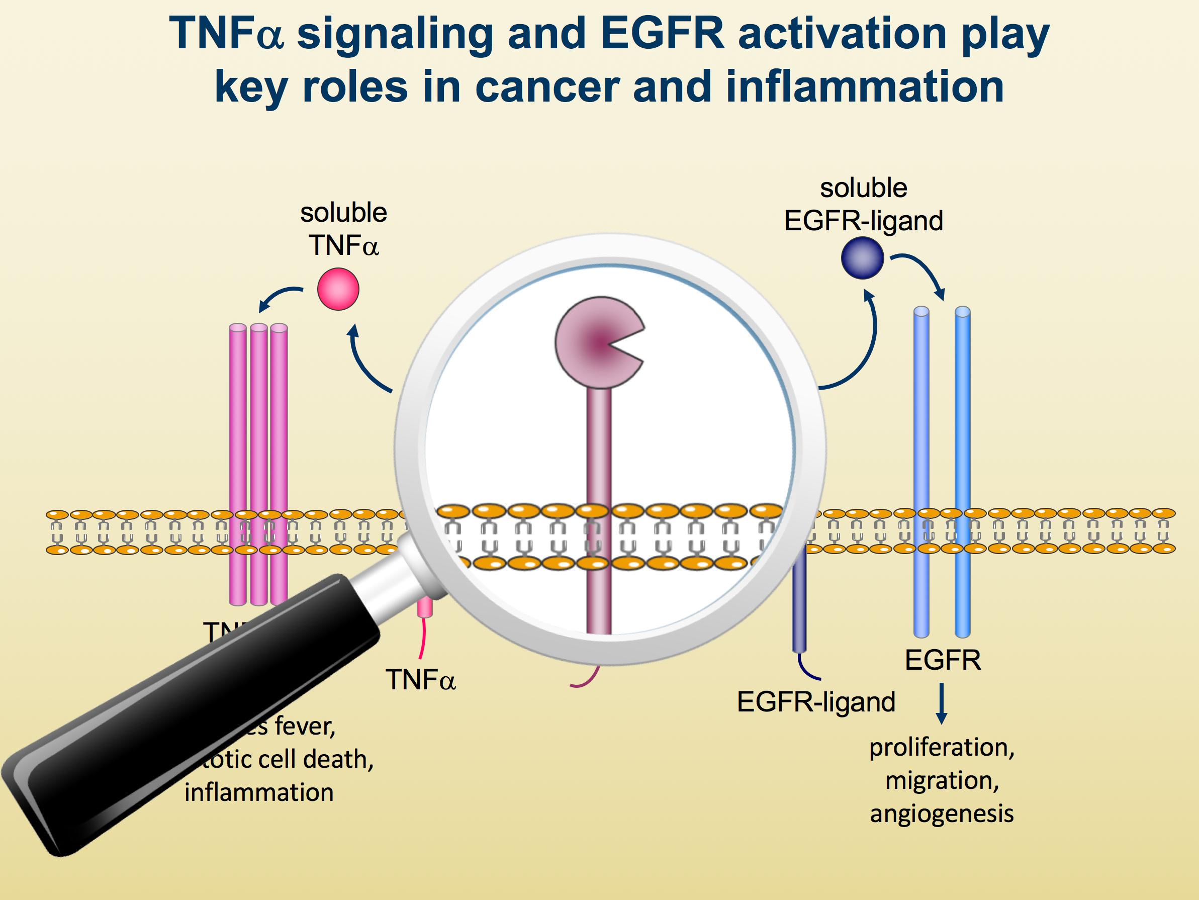 TNF signaling & Rheumatoid Arthritis